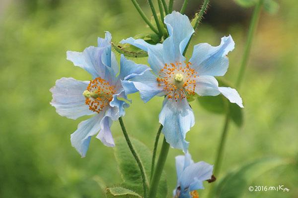 ヒマラヤの青いケシ(メコノプシス・ベトニキフォリア)①京都府立植物園