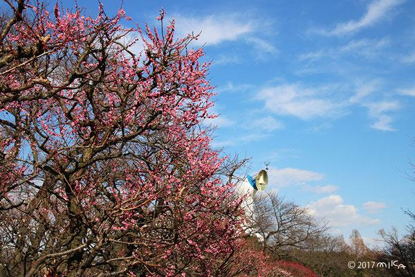 万博記念公園梅まつり(五分咲き)