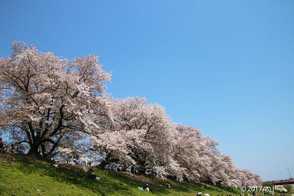 桜並木(淀川河川公園背割堤地区)