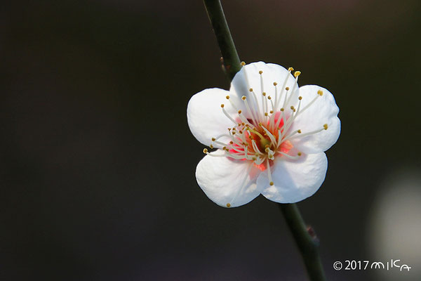 桃山(万博公園にしかない珍しい梅の品種)