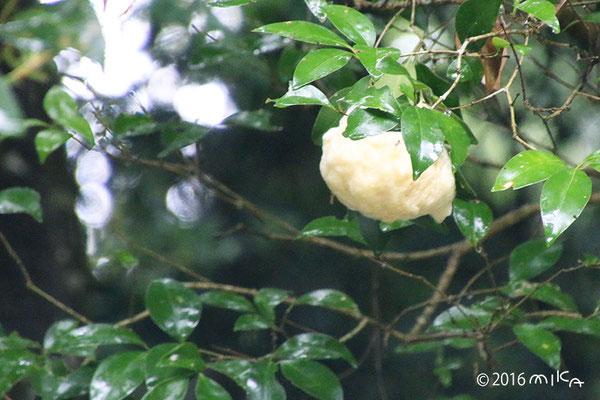 モリアオガエルのたまご(神戸市立森林植物園)③