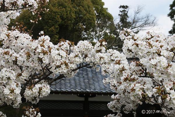 御室桜のトンネル