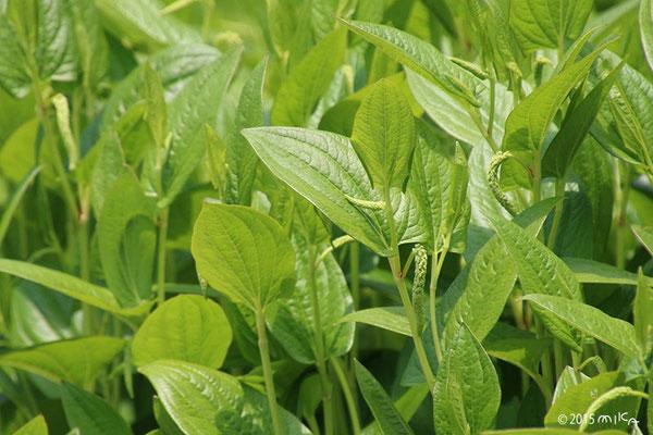 ハンゲショウの緑の葉①