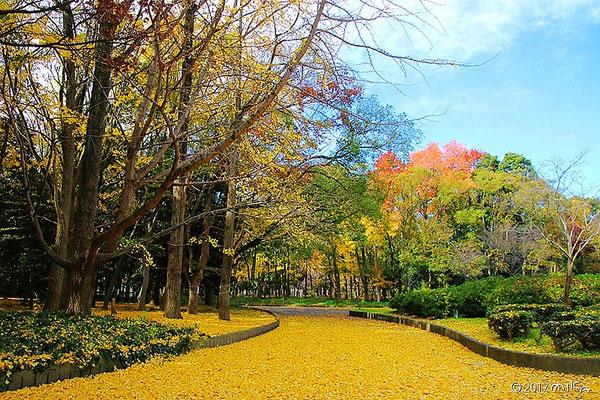 大阪城公園のイチョウの落葉(12月上旬)
