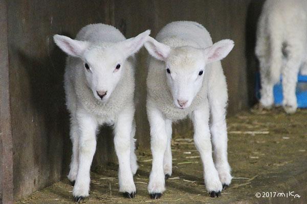 子羊2頭①