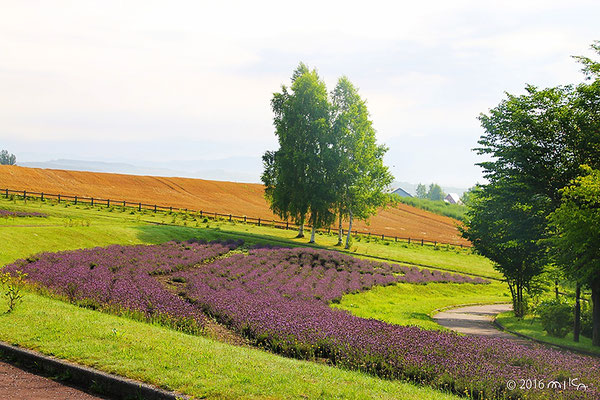 北西の丘展望台のラベンダーの花壇