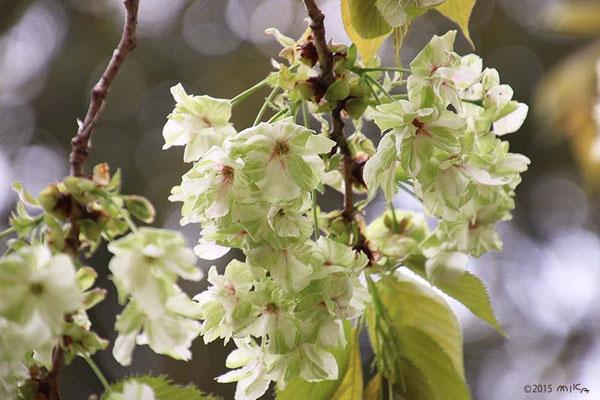 鬱金(ウコン)平成11年と29年の「今年の花」/造幣局桜の通り抜け
