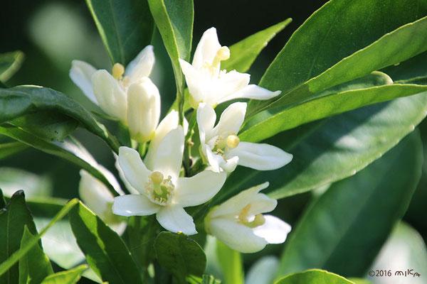 温州みかんの花