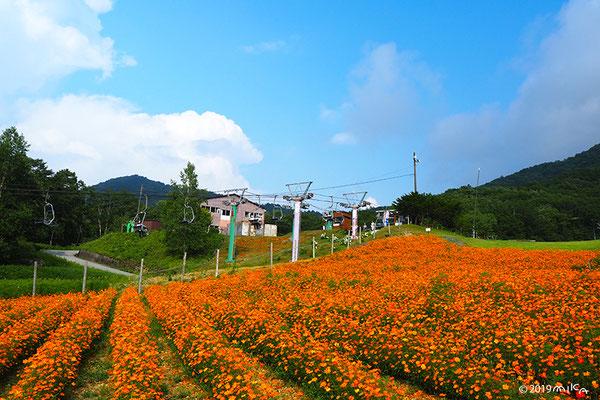 キバナコスモスの花畑(コスモスガーデン/長野県治部坂高原スキー場)