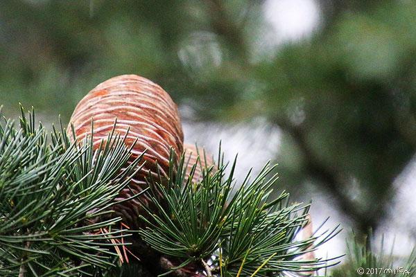 ヒマラヤスギの熟した球果①(秋~冬ごろ)