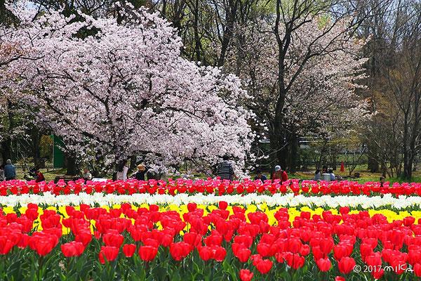 チューリップの花園(万博記念公園)
