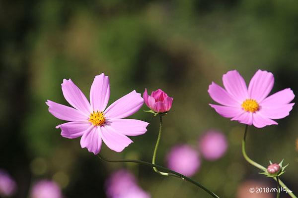 徐々に咲くコスモス