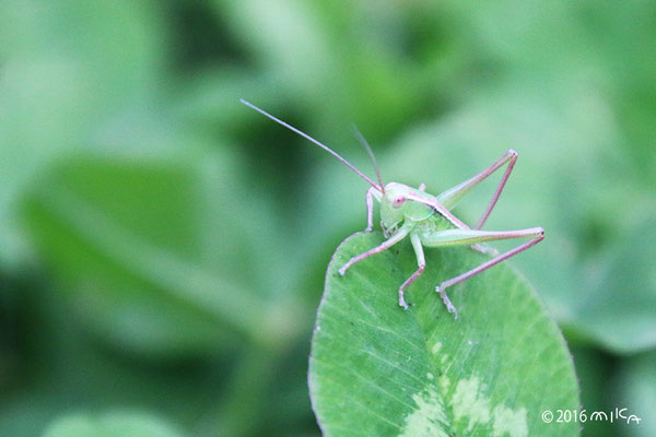 キリギリスの幼虫①