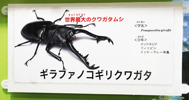ギラファノコギリクワガタの説明(伊丹市昆虫館)