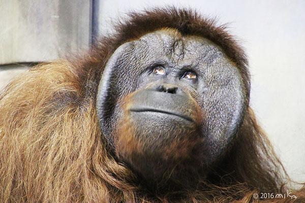 ボルネオオランウータンのオス「ジャック」①(旭山動物園)