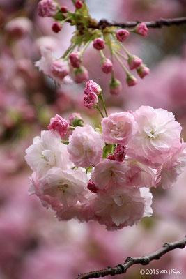 一葉(いちよう)桃色 平成27年の「今年の花」/造幣局桜の通り抜け