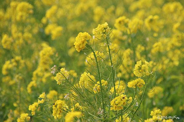 道端の菜の花(4月)