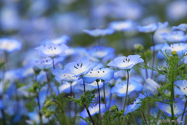 ネモフィラ・インシグニスブルーの花畑①