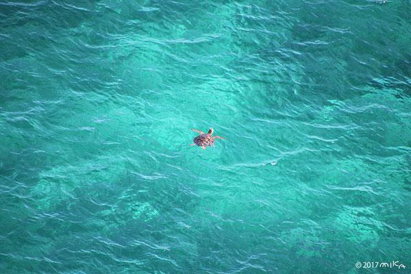 アオウミガメの息継ぎ(伊良部島)