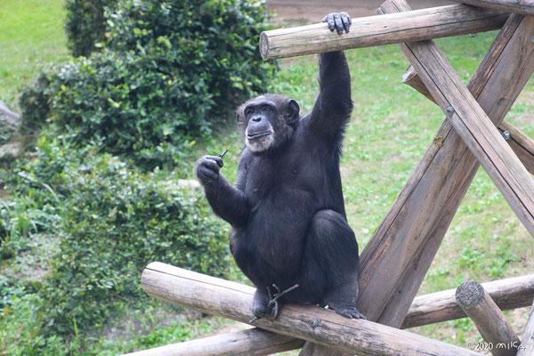 枝をつかむチンパンジー(神戸市立王子動物園)