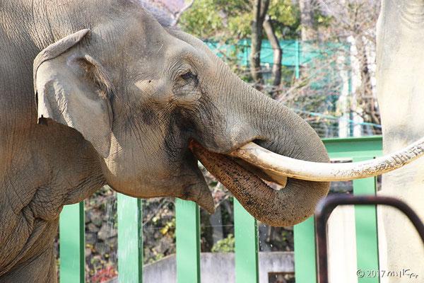 水を飲むアジアゾウ②(神戸市立王子動物園2017年)
