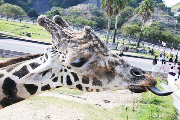 キリンの長い舌②(白浜アドベンチャーワールド)