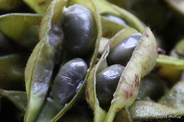 黒大豆エダマメの実①