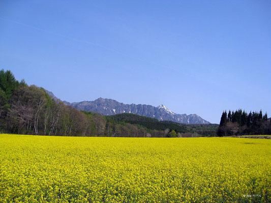菜の花畑とアルプス(長野)