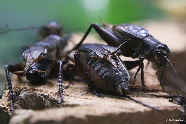 エンマコオロギのオスとメス