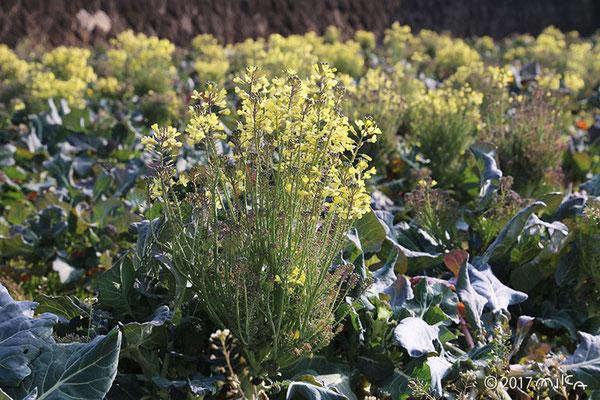 ブロッコリーの花②