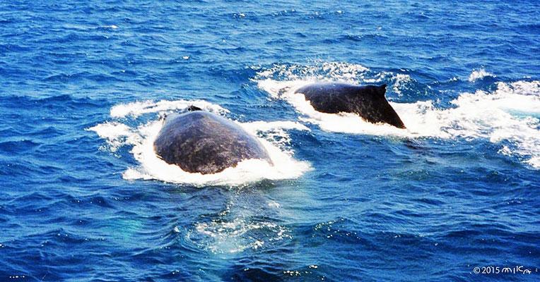 ④クジラがすぐそばに(船は大揺れ)