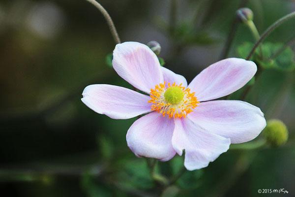 シュメイギク(秋明菊)うすいピンク