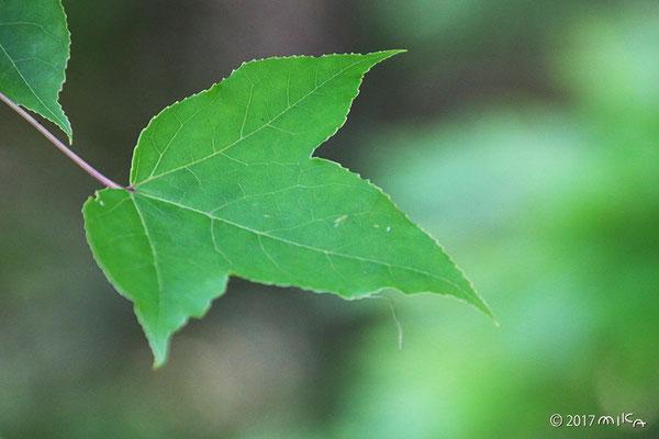 フウの葉(タイワンフウ)夏