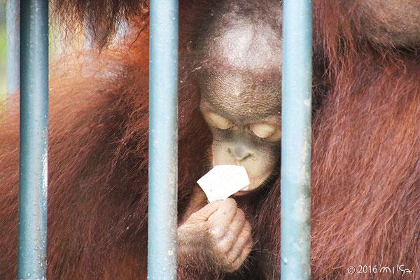 ボルネオオランウータンの子ども「モカ」②(旭山動物園)