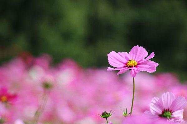 センセーションの花畑①