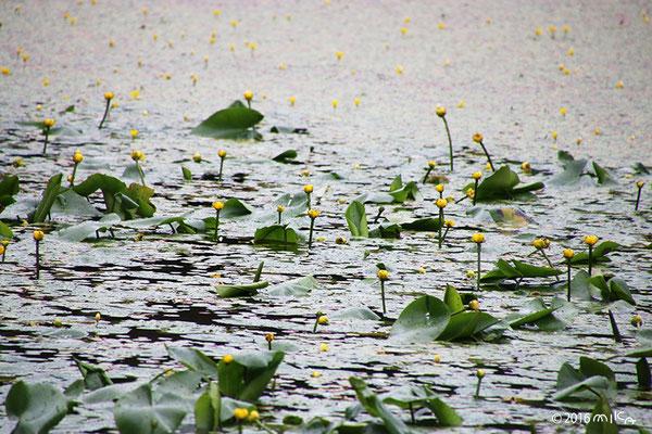 一面のコウホネ(神戸市立森林植物園長谷池)