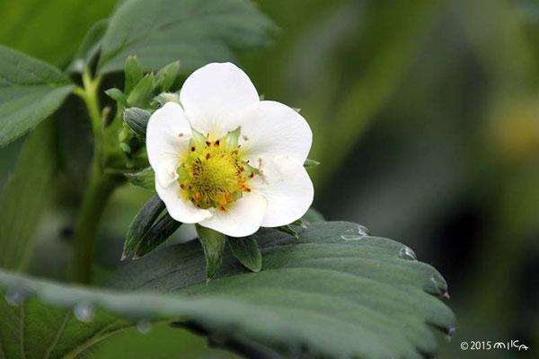 イチゴの白い花