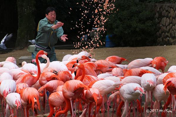 フラミンゴのエサやりタイム(神戸市立王子動物園)