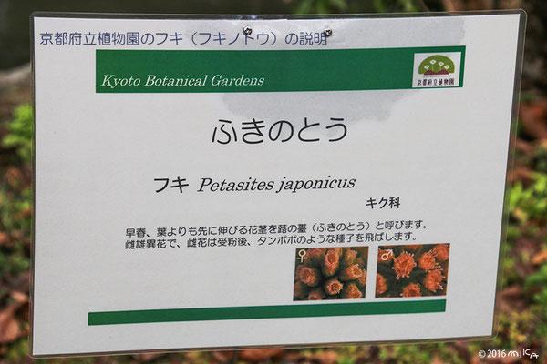 フキノトウの説明(京都府立植物園)2016年
