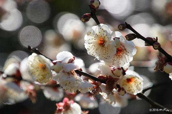 白梅(立春のころ/咲き始め)
