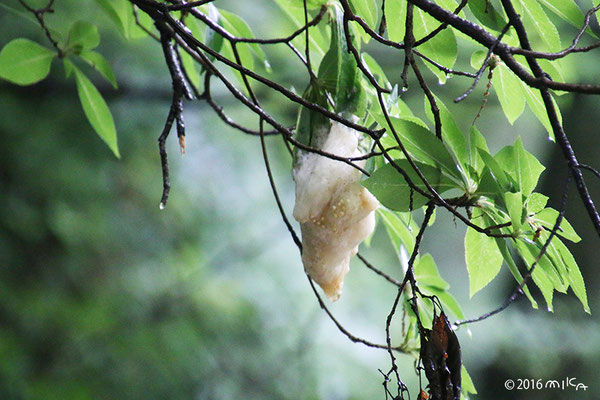 モリアオガエルの卵塊(神戸市立森林植物園)
