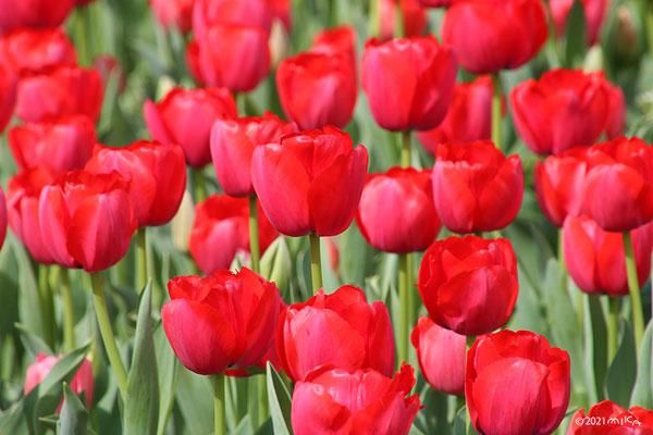 赤いチューリップの花畑