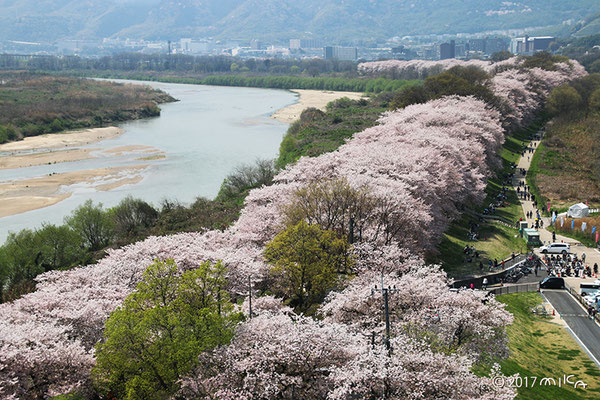 best place to view cherry blossoms in Yawata