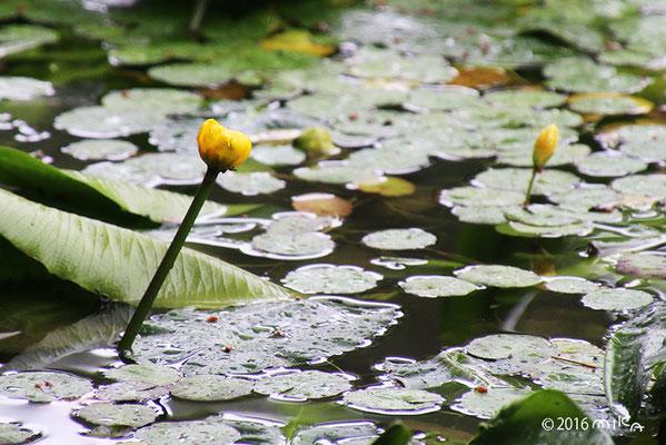 コウホネ(神戸市立森林植物園長谷池)