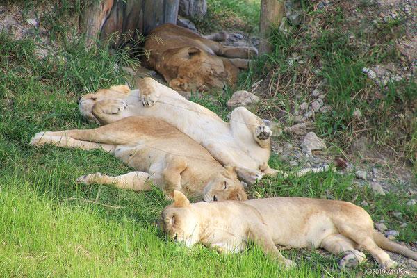 寝ているメスのライオン(白浜アドベンチャーワールド)