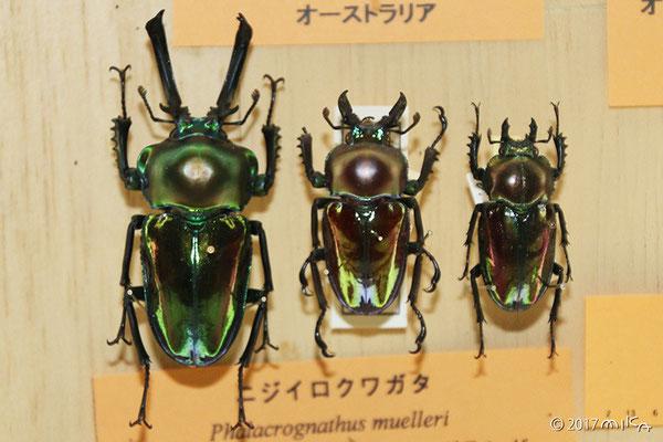 ニジイロクワガタ(大阪市立自然史博物館)