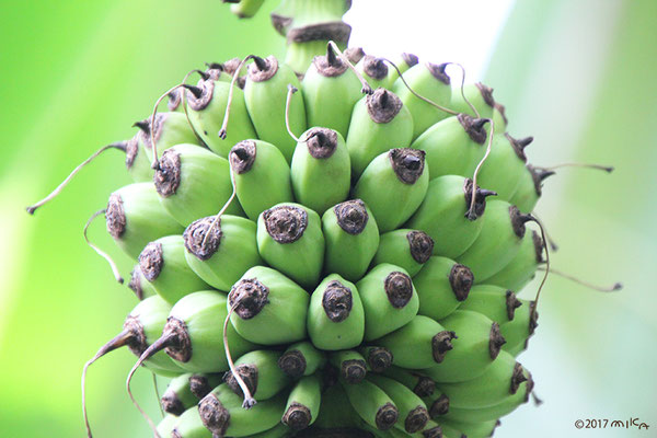 育ってきたバナナ(京都府立植物園)