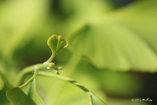 イチョウの若葉と花
