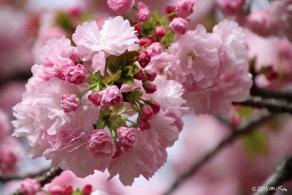 小手毬(こでまり)平成24の「今年の花」/造幣局桜の通り抜け
