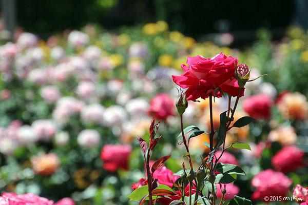 バラ(春と秋)